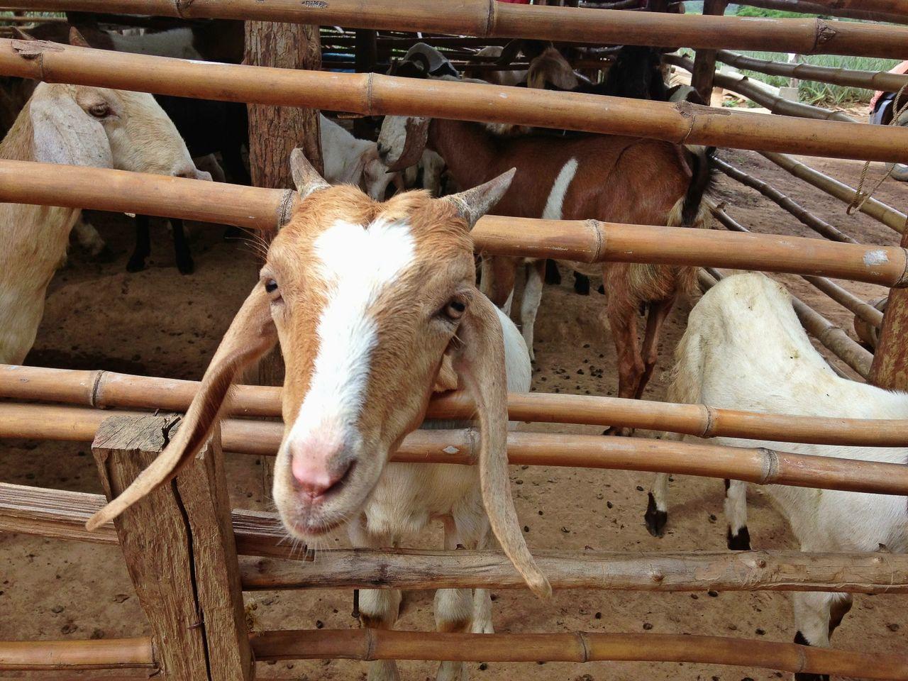 Herd Of Goats In Pen