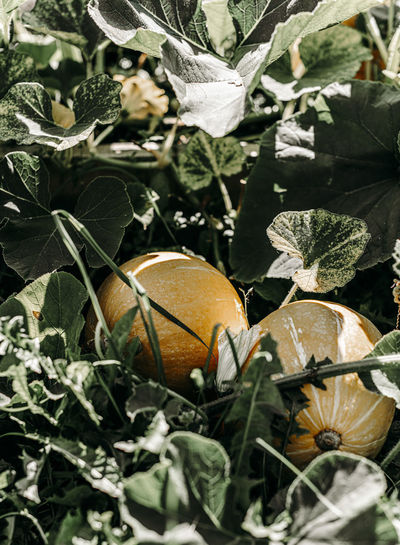 Close-up of fruits growing on field