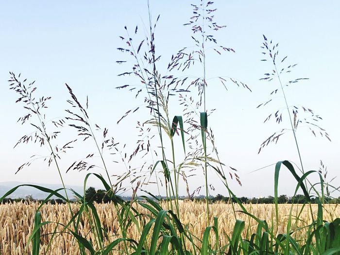 Yellow Grain Giallo Summertime Spiga Campodigrano Campagna DistesaOrzo Tracieloeterra Noeltree Gost Erba Verde Astratto Leggerezza Filidierba