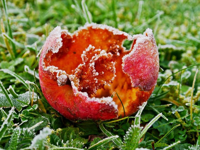 Apple Frosty Morning Animal Food Beauty In Nature Bites Close-up Cold Temperature Day Food Food And Drink Freshness Frozen Fruit Grass Green Color Growth Nature No People Outdoors Red Toadstool