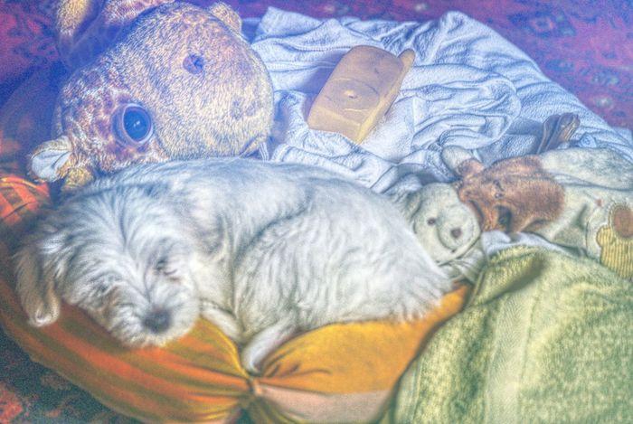 Night Night, Sleep Tight Maltese Dog Pet Portraits
