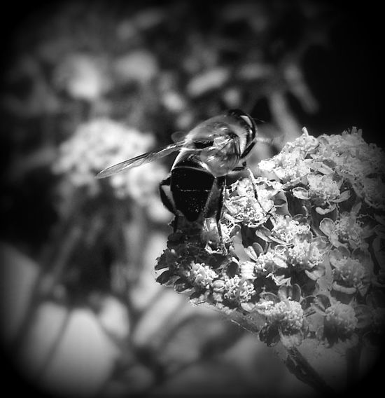 Black And White Black And White Photography Black And White Collection  Black And White Insect Black And White Flower Collection Insect And Flower Edited My Way Black And White Nature ın My Garden Insect Photography