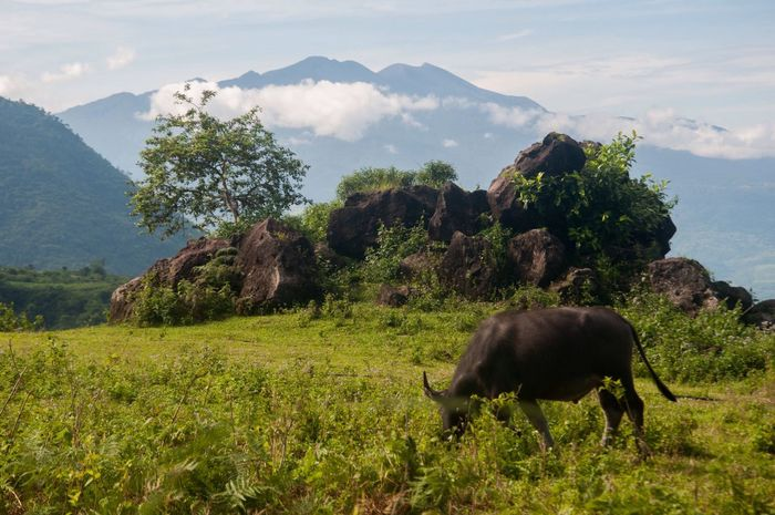 Mountain Nature Animal Themes Mountain Range Beauty In Nature Field One Animal No People Bacolod City, Philippines Domestic Animals Grazing (null)The Great Outdoors - 2017 EyeEm Awards Mt. Mandalagan Eyeem Philippines Bacolod Day Grass Tree Livestock Scenics Landscape Growth Animals In The Wild
