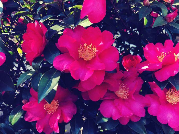 山茶花 Japan Pink