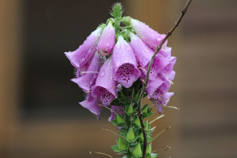 Foxglove Flower Fragility Focus On Foreground Purple Close-up No People Petal Plant Nature Beauty In Nature Pink Color Growth Flower Head Day Freshness Water Periwinkle Outdoors