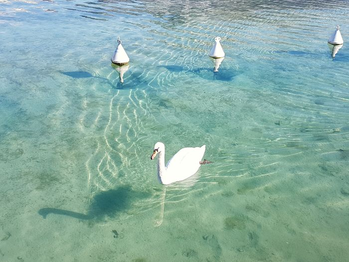 Swan and shadow. White Swan Swan Lake Bird Lake Life Buoys In The Water Water Water Wings Clear Water Shadow And Light