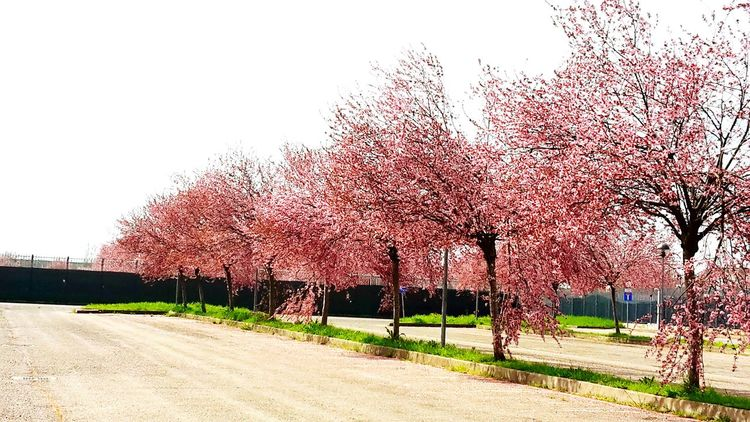 Lovely Nature Beautiful Nature Flower Trees Trees And Nature Colors Pink Tree Flowers Colorsofnature