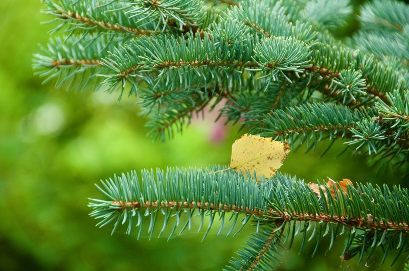 Green Color Leaf Fir Tree Tree Branch Pine Tree Pinaceae Needle - Plant Part Prickly Pear Cactus Close-up Green Color Plant Leaf Vein Fallen