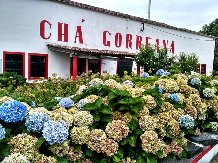 Cha Gorreana Hydrangea Hydrangea Flower Flower Head Concrete Structure Red Letters Botany Architecture Nature Nature Photography Flowers,Plants & Garden Flowers, Nature And Beauty Flowers Plants And Flowers Flowers_collection Store Building Text