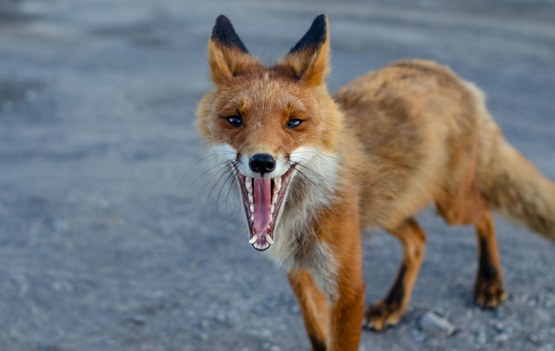 Animal Animal Themes Animal Wildlife Animals In The Wild Canine Day Dog Fox Looking At Camera Mammal Mouth Mouth Open Nature No People One Animal Outdoors Pets Portrait Standing Vertebrate