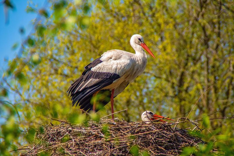 Aves Ciconiidae Couple Nesting Nesting Birds Family Togetherness Springtime Spring Storks Stork Nest Animal Wildlife Animals In The Wild Bird Animal Themes Animal Vertebrate One Animal Nature No People Perching Stork Day Animal Nest Outdoors Tree Focus On Foreground White Stork Nest Bird Nest