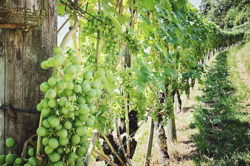 Picoftheday Photography Photographer Photooftheday Naturephotography Nature_collection Winegrapes Grape Plant Growth Green Color Day Nature Beauty In Nature Tree No People Sunlight Plant Part Freshness Outdoors Green Tranquility