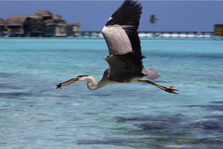 Gray heron caught fish over lake