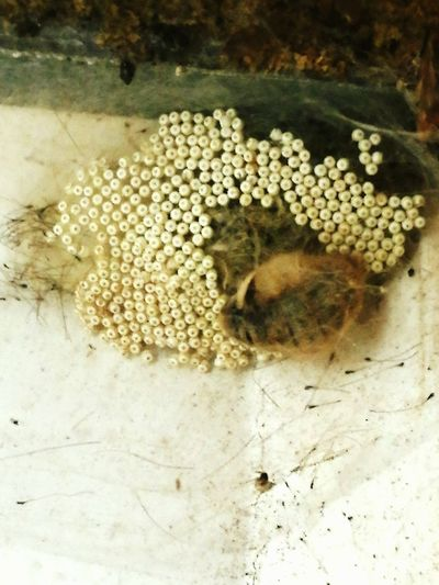 Close-up Nature Fragility Beauty In Nature Vapourer Moth Laying Eggs Isnt Nature Awesome
