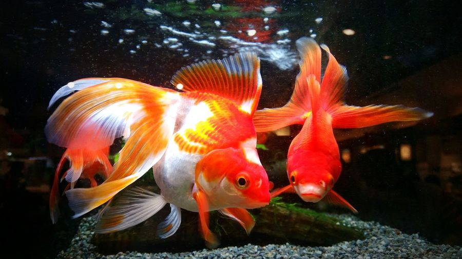 goldfish japan 金魚 fish aquarium 水槽 water  Tokyo Aquarium Aquarium Life Beauty In Nature Beautiful Animals  Colors アクアリウム 金魚 きんぎょ Japan Fish Goldfish Kingyo Animal Themes Red Nature Animals In The Wild EyeEmNewHere