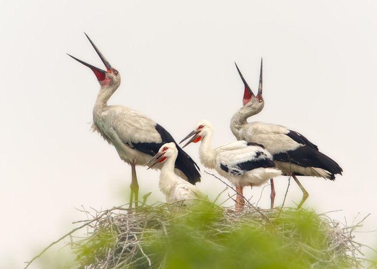 White storks on nest