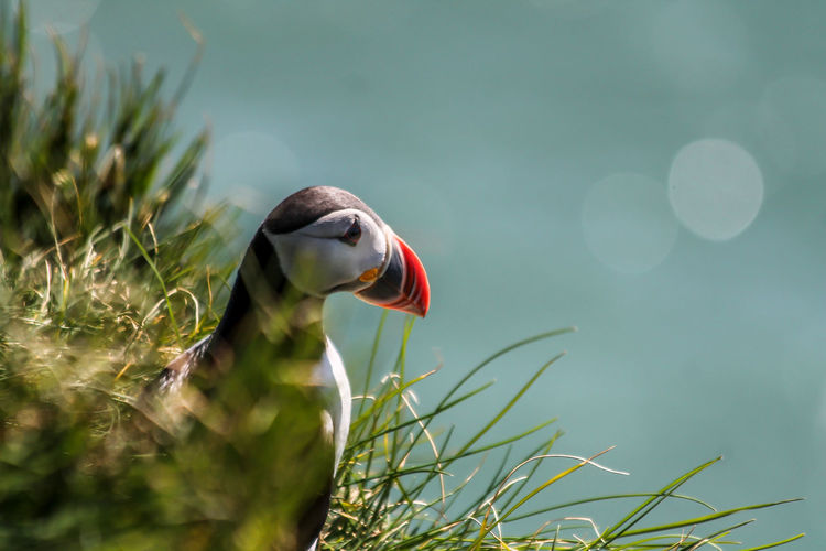 Puffin Puffin Island Iceland
