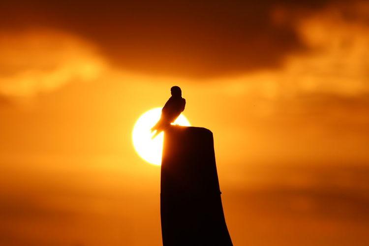 Silhouette bird perching on orange against sky during sunset