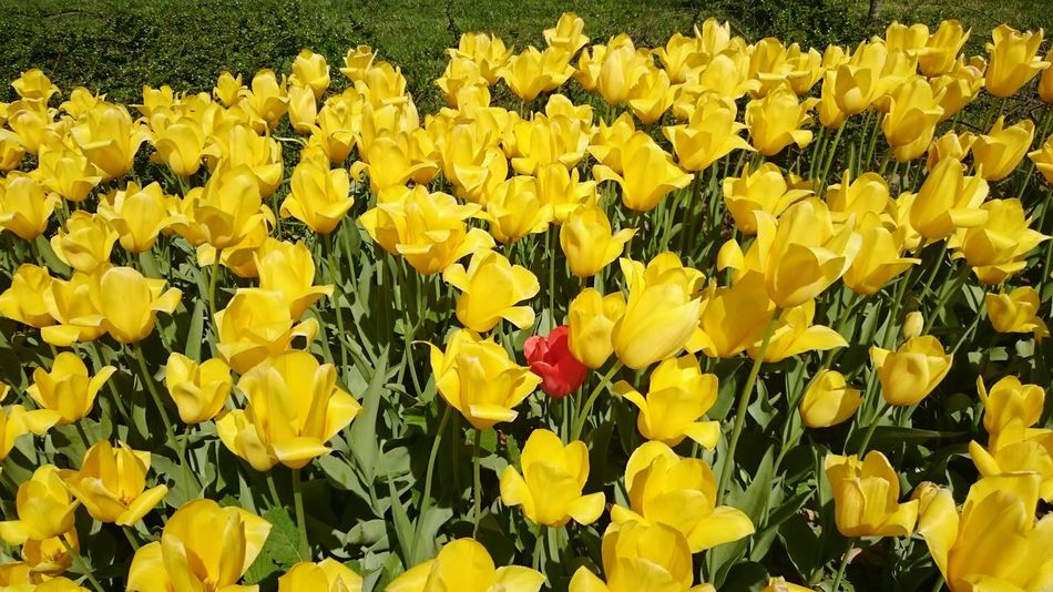 Urban Spring Fever No Edit/no Filter Festival Of Tulips Festival Tulips🌷 My City Kocaeli View Beautiful Flowers Mycollection Flower Collection EyeEm Nature Lover Eyem Gallery SK Fotografii😊 Sony Xperia Z3 Sonyphotography Eye4photography  First Eyeem Photo EyeEm Best Shots Nature Photography Flower Photography Red Tulip Yellow Tulips Flower
