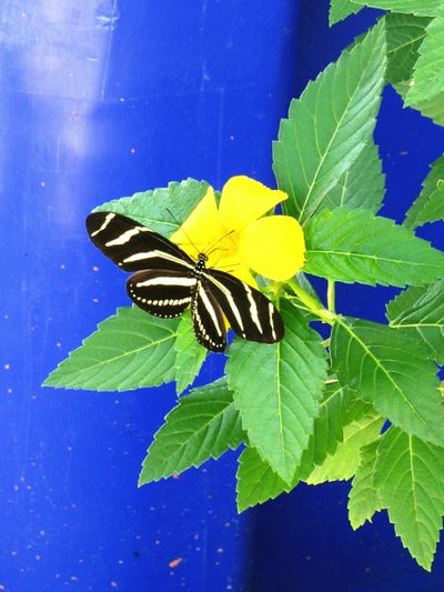 Zebra Longwing butterfly on a Beach or Cuban Buttercup and, yes, the blue background is a recycling bin Social Issues Recycling Blue Heliconius Charithonia Zebra Longwing Zebra Longwing Butterfly Florida Nature Florida Wildlife Butterfly Buttercup Butterflies Zebra Longwing Pattern Pieces Animal Themes Insect Butterfly - Insect Beauty In Nature Close-up Animal Wildlife Fragility Freshness Flower Head Animals In The Wild Outdoors Nature No People