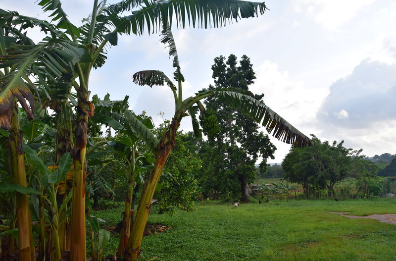 Plant Sky Green Color Growth Beauty In Nature Land Nature Day Field Cloud - Sky Tranquility Grass Landscape Scenics - Nature Environment Palm Tree Tropical Climate Tranquil Scene No People Outdoors Valle De Viñales Viñales Viñales Valley, Cuba Cuba Cuba Collection