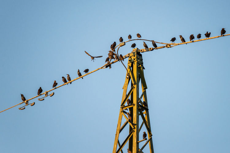 Let's perch here... Sky Low Angle View Clear Sky Nature Blue Metal Vertebrate Animal Perching Bird Animal Themes Copy Space Cable Animal Wildlife Outdoors Group Of Animals Electricity  Flock Of Birds Power Supply Birds Bird Photography Gathering Sturnus Vulgaris Starling Migrating Birds