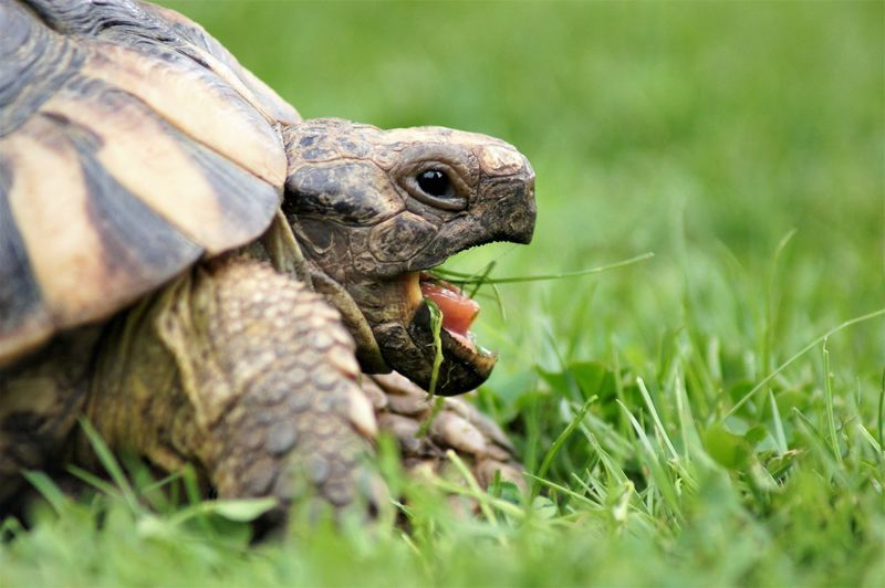 Tortoise on lawn with grass in mouth. Animal Themes Animal One Animal Tortoise Tortoise Shell Shell Black Color White Color Animal Markings Animal Body Part Animal Head  Animal Shell Animal Eye Animal Mouth Mouth Open Animal Tongue Tongue Out Scales Looking At Camera Eating Animal Wildlife Reptile Vertebrate Lawn Grass Green Color Sunlight Shadow Silhouette Nature Beauty In Nature Plant No People Day Land Outdoors Close-up Selective Focus Surface Level Animal Leg Rugged Defense Protection Strength