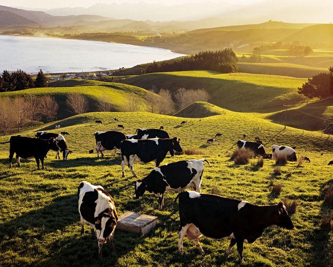 Cows in farm against sky