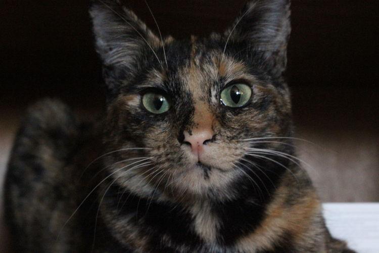 Portrait of tortoiseshell cat at home