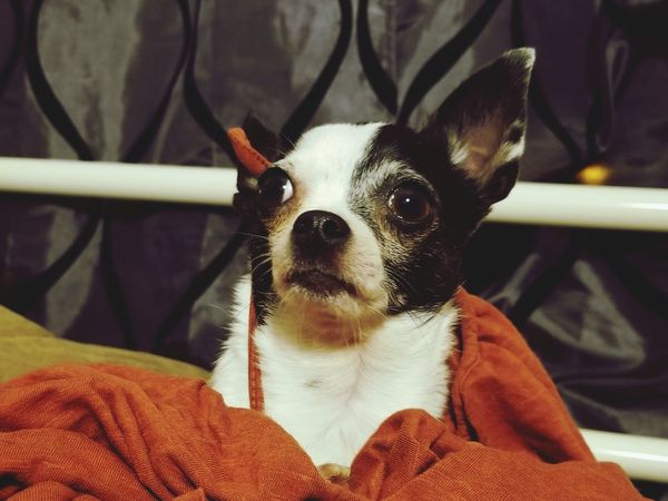 EyeEm Selects Pets One Animal Dog Domestic Animals Indoors  Close-up Chihuahua