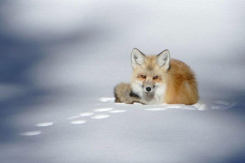 Foxes Fox🐺 Wildlife Winter Yellowstone Yellowstone National Park Yellowstone Wildlife Yellowstone Winter Yellowstonenationalpark Lumix Fz1000
