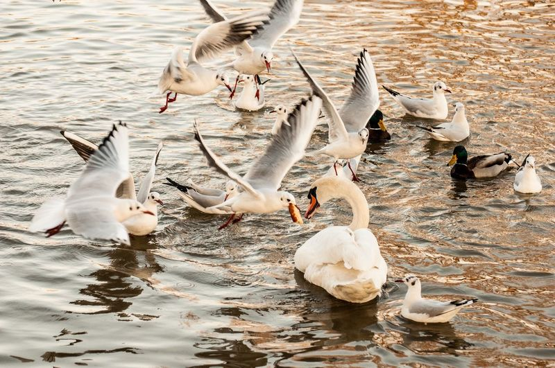 Flock of birds in lake