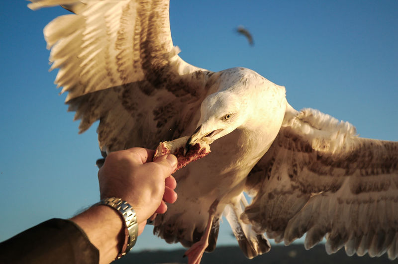 Close-up of cropped hand feeding seagull