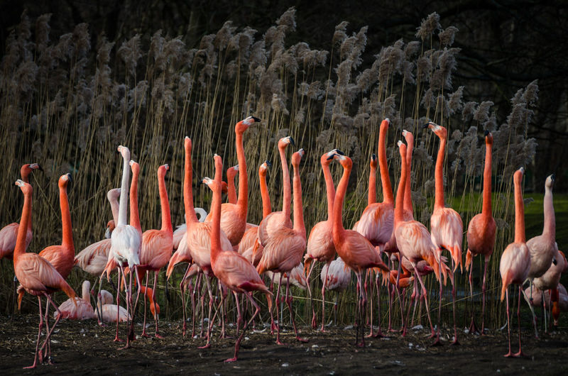 Flock of flamingos on field
