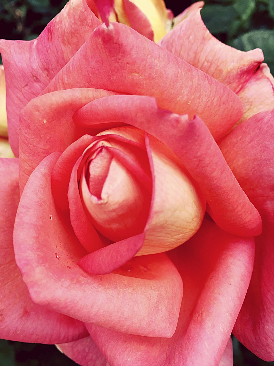 flower, petal, nature, fragility, beauty in nature, flower head, rose - flower, freshness, pink color, close-up, outdoors, day, no people, growth, blooming