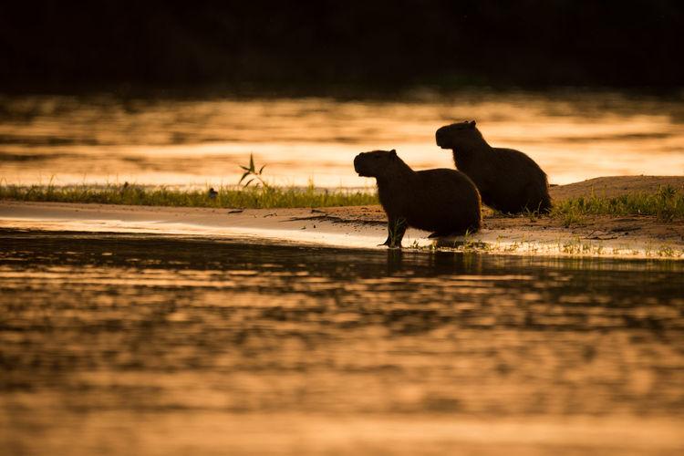 Silhouette capybaras at lakeshore during sunset