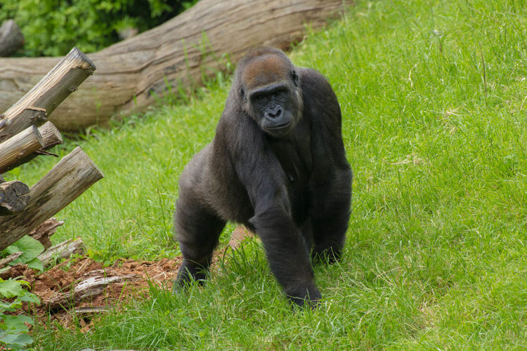High angle view of gorilla on grassy field at zoo