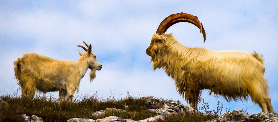 Low angle view of cashmere goats on field against sky