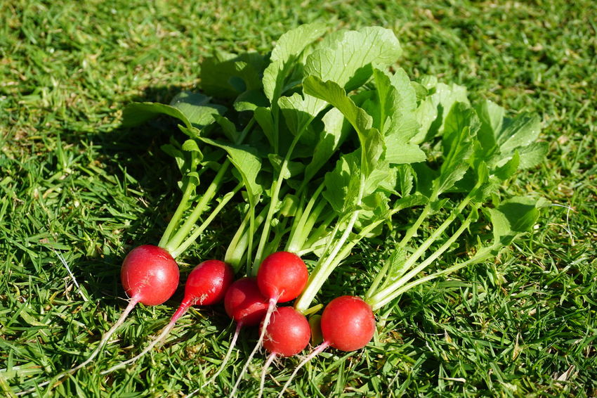 Homegrown Healthy Lifestyle Red Leaf Agriculture Field Vegetable Sunlight High Angle View Radish Root Vegetable