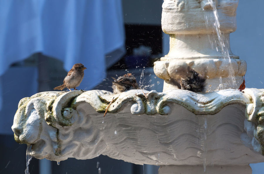 Bath Time Binz Auf Rügen Birds Blue Close-up Cute Animals Cute Birds  Day Enjoying The Sun Enjoyment Focus On Foreground Fountain Fun House Sparrows Old Fountain Outdoors Ruegen Island Sparrow Sparrows Splash Summertime Sunshine Water Waterdrops White