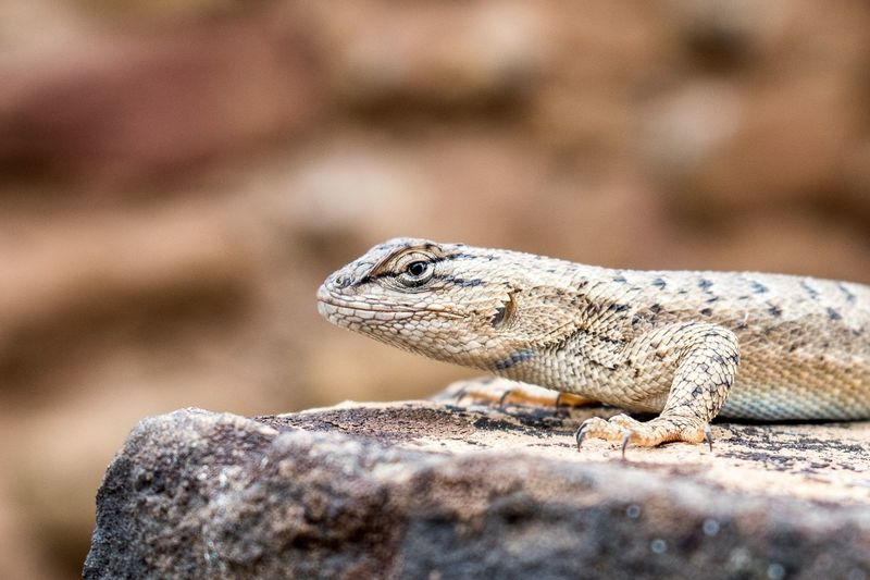 Perspectives On Nature EyeEm Selects Lizard Colorado USA Nature Animal Hiking Outdoors Nature Close-up EyeEmNewHere Animal Themes Reptile One Animal Animal Wildlife Animals In The Wild Iguana Nikon Photooftheday Mesa Verde National Park