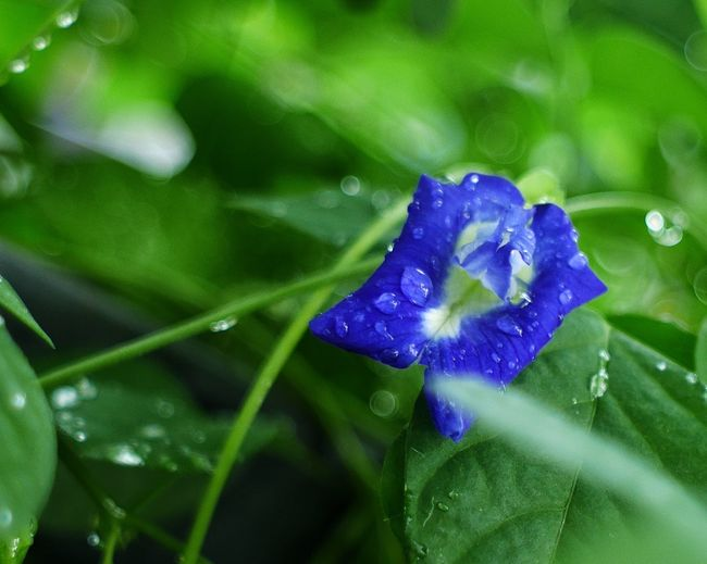 Close-up of raindrops on purple flower
