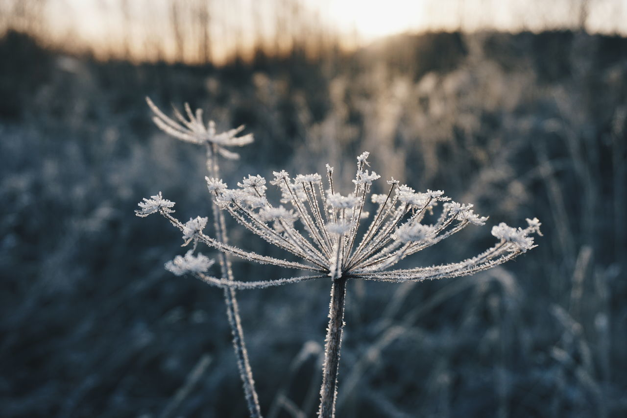 winter, cold temperature, snow, nature, focus on foreground, frozen, close-up, snowflake, frost, beauty in nature, plant, outdoors, no people, ice, day, fragility, tree, flower, flower head, freshness