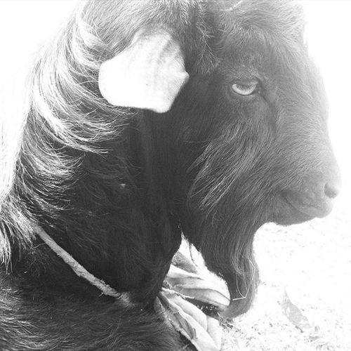 Portrait ! J Jashimsalam Photographer Dailylife Goat Portrait Beard Bnw Blakandwhite B &wDomestic Instagram
