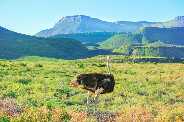 ostrich in the Karoo National Park of South Africa. South Africa Karoo Karoo National Park Great Karoo South African Safari Game Drive National Park Park Natural Beauty Nature Wildlife Animals In The Wild Dirty Road Widerness Savannah Grass Mountain Zebra Africa African Ostriches Ostrich Ostrich Farm Animal Animal Themes Animal Wildlife Landscape Mountain One Animal Environment Bird Vertebrate Land Sky Scenics - Nature Plant Day Beauty In Nature No People Outdoors Animal Neck