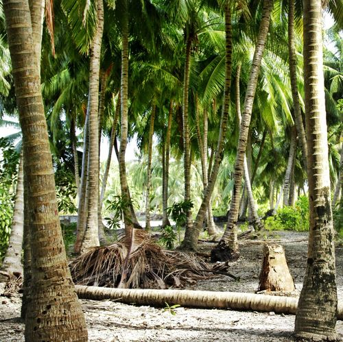 Endless Rapture Tree Palm Tree Tree Trunk Nature Day Outdoors Growth Beauty In Nature