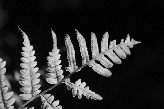 Frosty Leaf Plant Black Background Close-up No People Nature Growth Leaf Beauty In Nature Fragility Plant Part Vulnerability  Focus On Foreground Twig Frost Blackandwhite Black And White