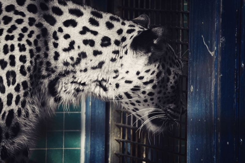 One Animal Animal Themes Mammal No People Cage Day Outdoors Close-up Animals In The Wild Domestic Animals Leopard Live For The Story