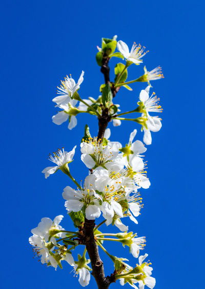 Close-up of cherry blossoms against clear blue sky