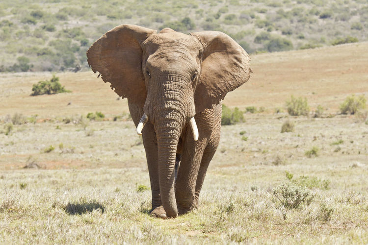 Front View Of Elephant Walking On Grass